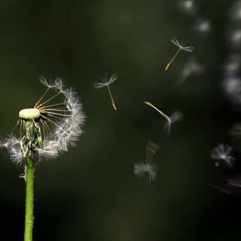 Dandelion seeds blowing